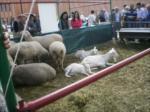 koyunlar ve keciler...