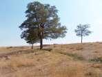 Harman yerinde Erdoğan İncinin dikmiş olduğu akasya ağaçları